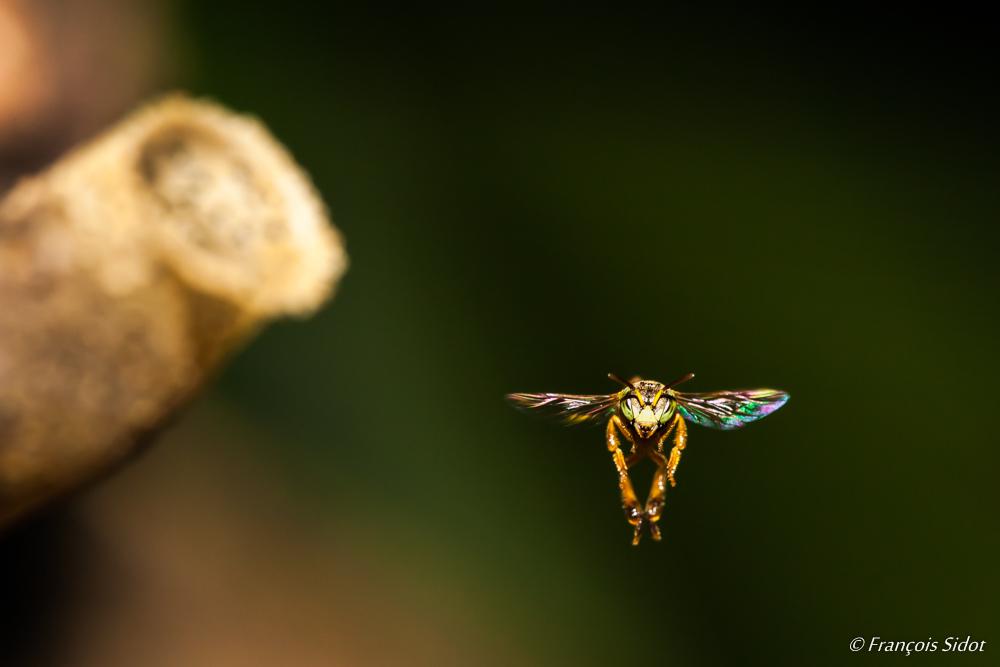 Abeille en vol (Trigona fulviventris)