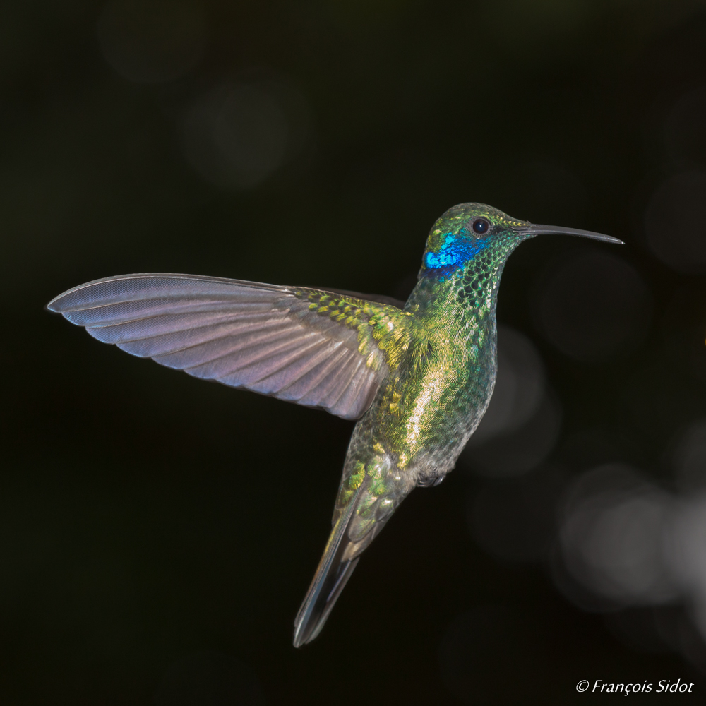 Colibri thalassin en vol (Colibri thalassinus)