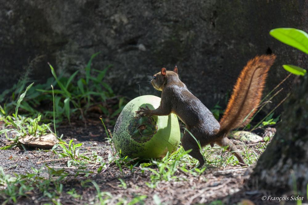 Écureuil à queue rouge (Sciurus granatensis)